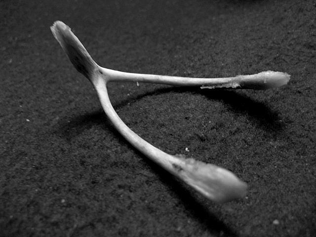 Clavicules d'oiseaux, aussi appelées furcula ou os à voeu.