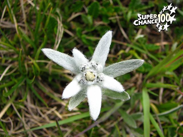 Photographie d'un edelweiss en gros plan.