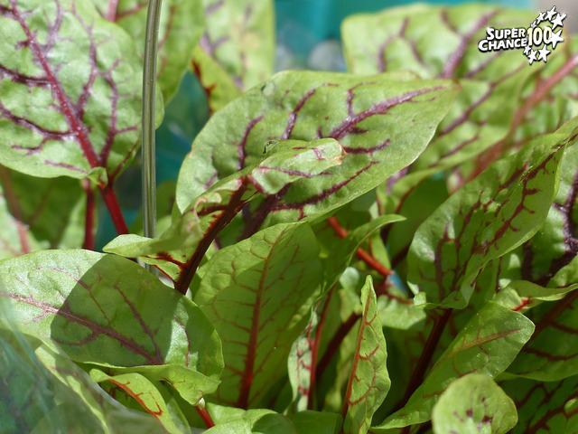 Une plante nommée oseille.