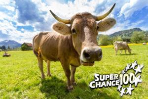 vache dans une prairie en Suisse.